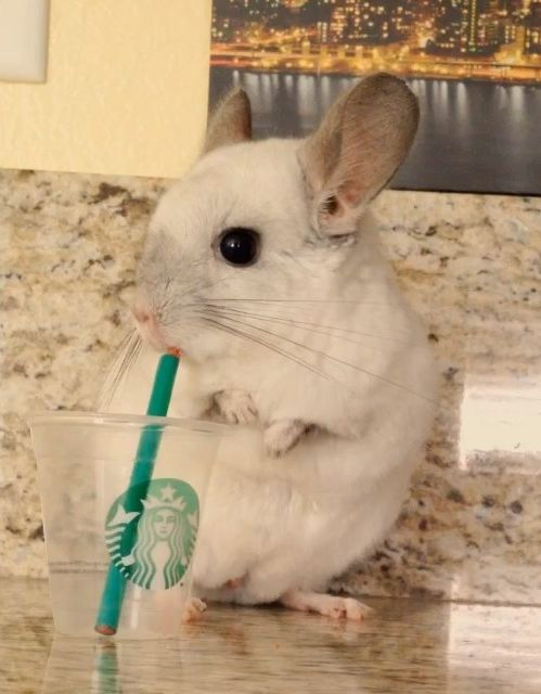 This chinchilla doing human things is so freaking adorable