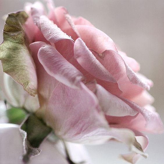 pink rose.: