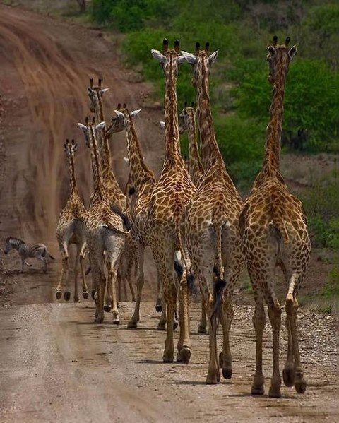 Pin By Vessna Ws On Pets Chers Animaux Giraffe Animals Wild Animals