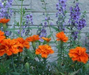 Angelonia Serena Blue paired with Bonanza Deep Orange Marigold