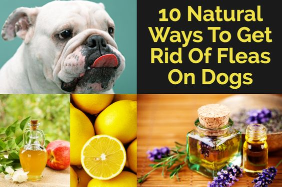 Natural Way Of Getting Rid Of Fleas On Dogs