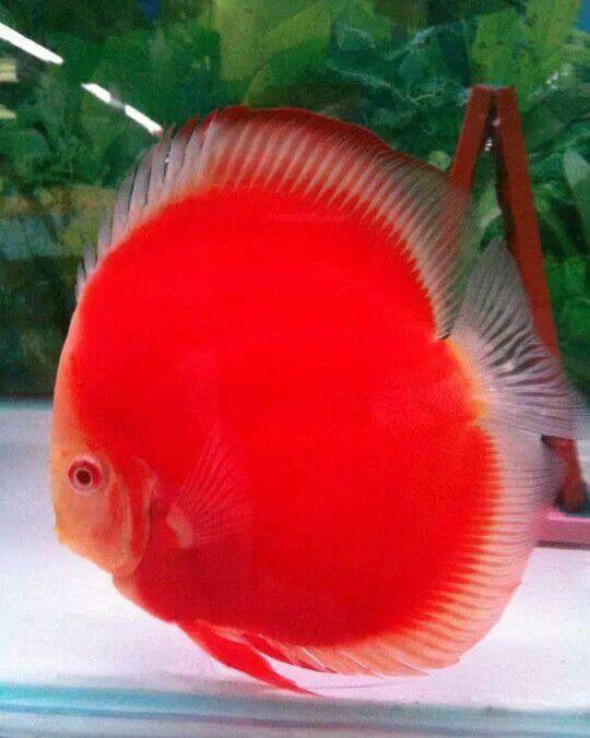 Chai discus super melon fishkeeping pinterest fish for Discus fish price