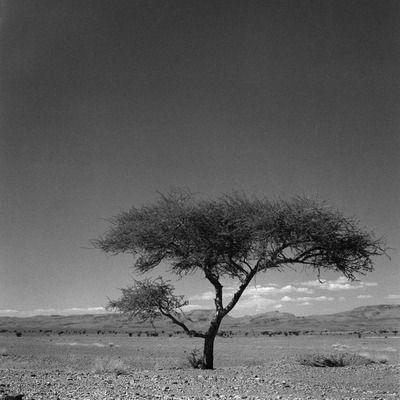 Woestijn boom