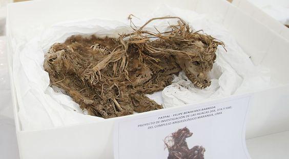 Peru: Los restos óseos de una persona, sepultada hace mil años junto a diez perros y dos cuyes, fueron hallados en la huaca El Rosal 20A, ubicada en la zona arqueológica del Parque de las Leyendas. (Dante Piaggio).-Javier H