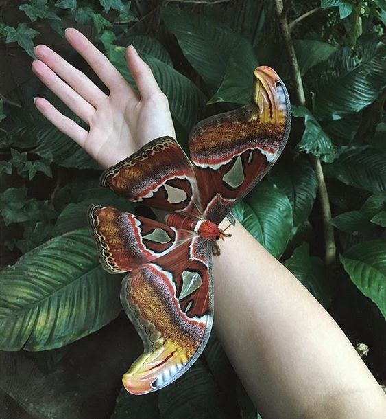 This is the huge Attacus atlas!Photo by @weeplingExplore. Share. Inspir
