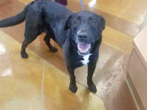 Texas City Tx Labrador Retriever Meet Biggun A Pet For Adoption Labrador Retriever Labrador Pet Adoption