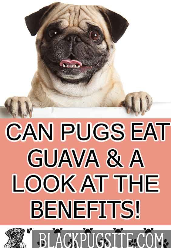 Can Pugs Eat Guava Is It Safe And The Best Way To Feed Them