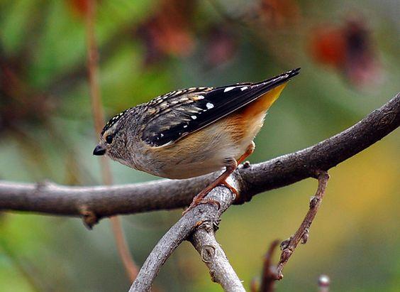 Spotted Pardalote - Pardalotus punctatus