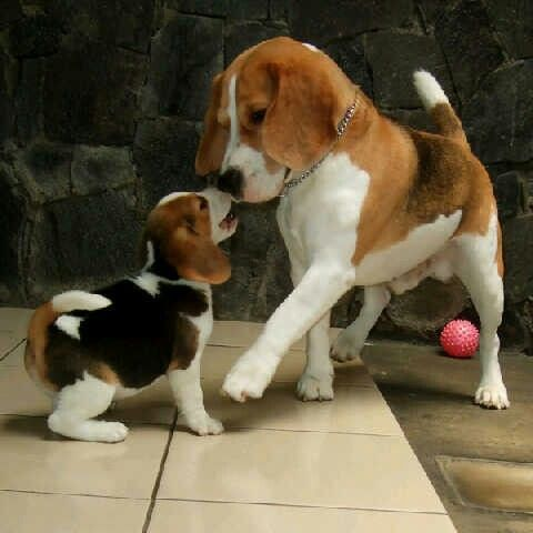 Rabbit Hunt With Great Dogs Beagle Puppy Cute Beagles Baby Beagle