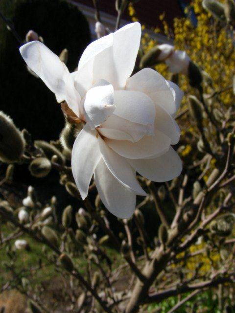 Magnolienblüten sind eine Augenweide | Die ersten Magnollien (c) Frank Koebsch (2)