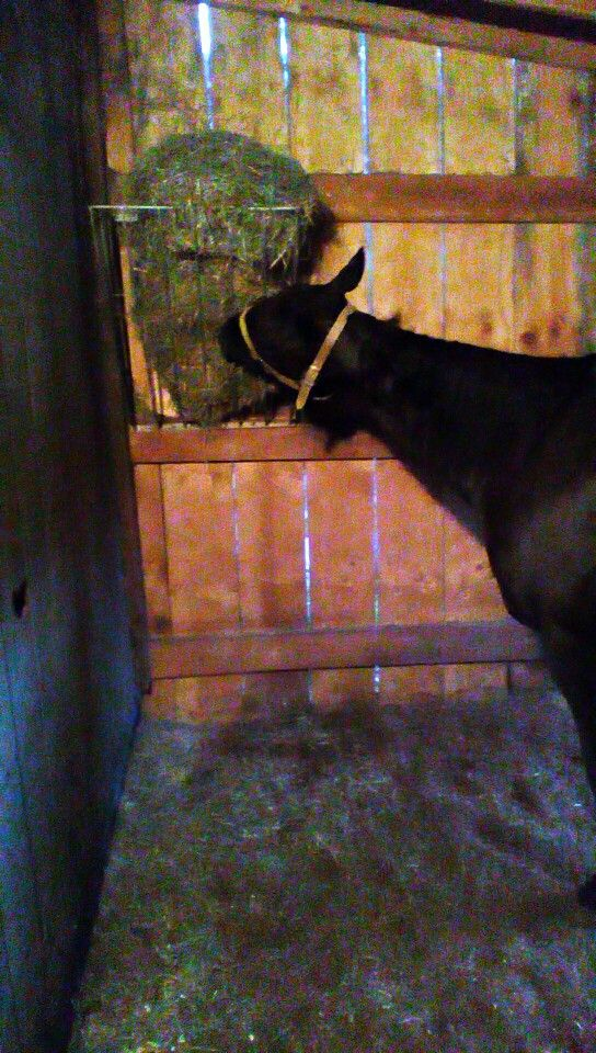 My boy eatin hay...He has two absesses, and is on stall rest:(( Just got back from striping his stall, carrying two buckets of fresh water, and giving him his nightly hay and hos dinner!!! Now i can eat The things we do for our babys!!!  #stallsmucked #nightlyfood #horsechoresdone