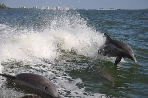 flying dolphins at Sanibel Island Florida
