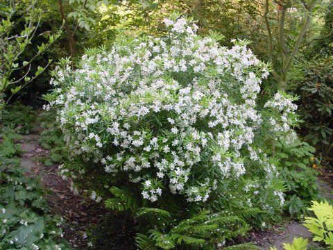 Pin On Pacific Northwest Landscape Plants