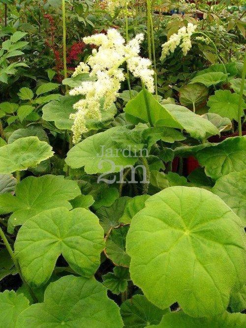 Plante aux immenses feuilles rondes, portant un épis de fleurs blanc crème en mi-été. Préfère les sols riches et humides. Idéale pour un jardin de sous-bois. Taille : le feuillage peut être taillé au sol à l'automne ou au printemps.