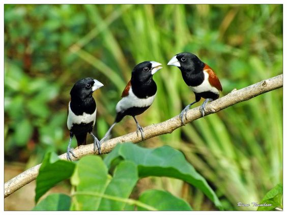 ギンパラ (銀腹) Tricolored Munia, Black-headed Munia (Lonchura malacca)