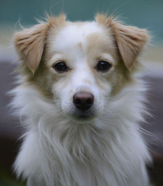 Ellania Pylh Kokoni O Mikros Pane3ypnos Ellhnas Skylos Dog Breeds Unique Dog Breeds Hybrid Dogs