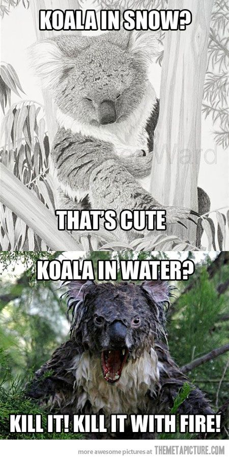 Koalas are basically real life Gremlins, don't get them wet!