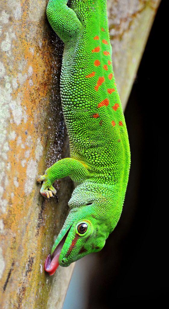 Licking gecko