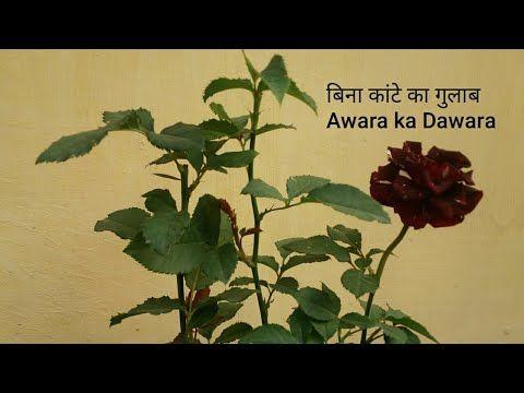 How To Grow And Care Awara Ka Dawra Rose In Pot आवर क ड वर ग ल ब ख Awara Garden Pots Pot