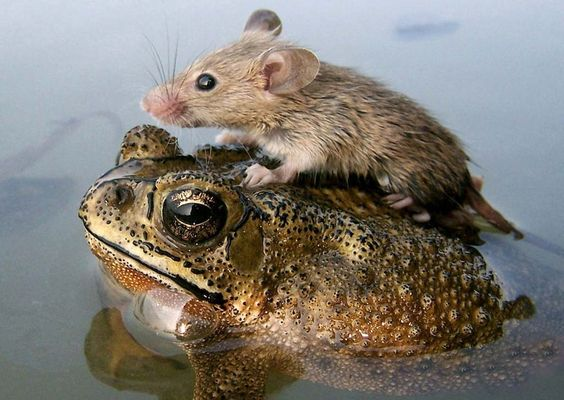 A mouse rides atop a frog to escape monsoon flooding in India, National Geographic