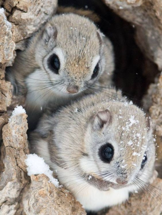 Japanese Dwarf Flying Squirrel Pteromys Momonga Information And Pictures By Pets Planet Cute Baby Animals Japanese Dwarf Flying Squirrel Cute Animals