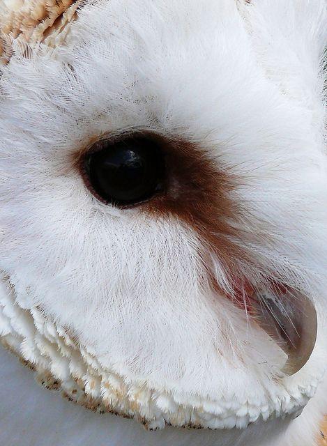 Barn Owl  by blissellie