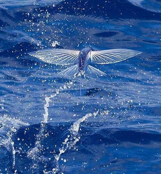 Flying Fish in the Pacific Ocean. We saw multiple schools ... Pacific Ocean Underwater Animals