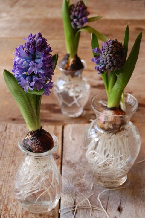 Single Hyacinth Flower Bulb in Forcing Vase por AminahGallery