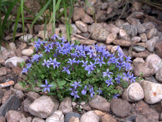 Der Blaue Bubikopf (Isotoma fluviatilis) ist wirklich ein hübscher kleiner Kerl. Aber in Mitteleuropa taugt er mangels ausreichender Winterhärte und hohem Feuchtigkeitsbedarf nicht zum Freiland-Bodendecker.