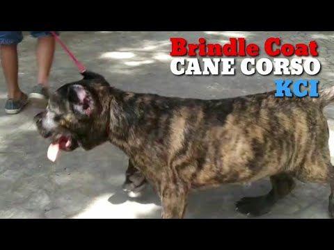 Brindle Coat Cane Corso The Italian Mastiff Puppy Video Https