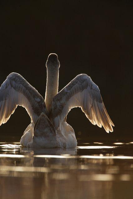 Ein Engel auf dem See - einfach wundervoll dieser #Schwan #Vogel #Tiere #Natur