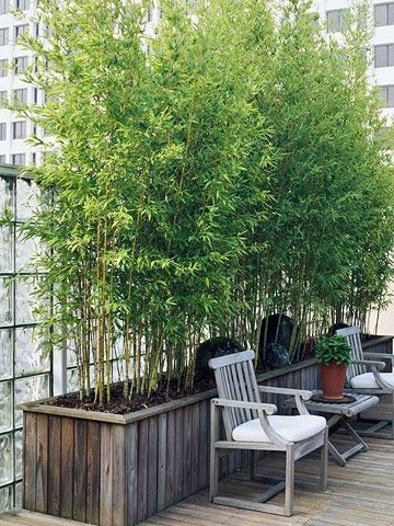 Create fast growing privacy screen using Bamboo, best grown in pots
