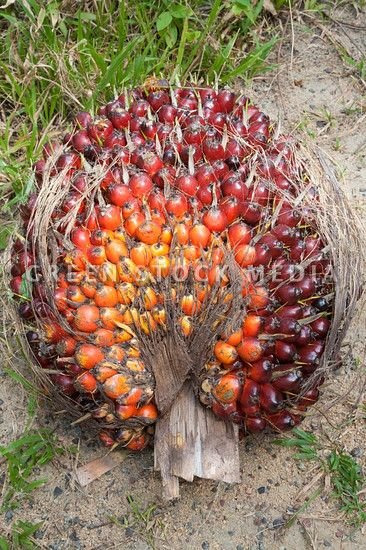 oil palm fresh fruit bunch