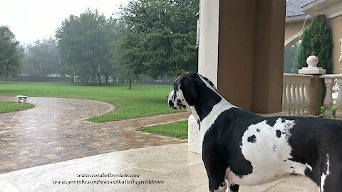 Mikey The Great Dane Loves To Watch The Rain Watch And Enjoy As