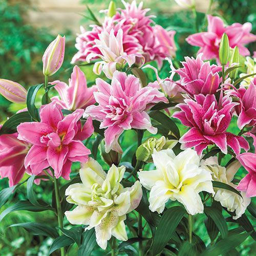 We Have Selected Some Of Our Best Performing And Most Colourful Roselily Varieties For This Mix Outfacing Double Blooms Hav Lily Plants Lily Bulbs Rose Lily