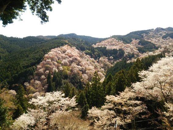 まきりな @makirina1208  4月6日 吉野山の吉水神社から一望   一目千本
