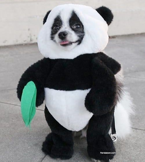 Throwback To Huxley The Panda Puppy Sporting His Panda Costume He