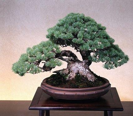 Bonsai / 五葉松 Goyo-matsu (Japanese Five Needle Pine)