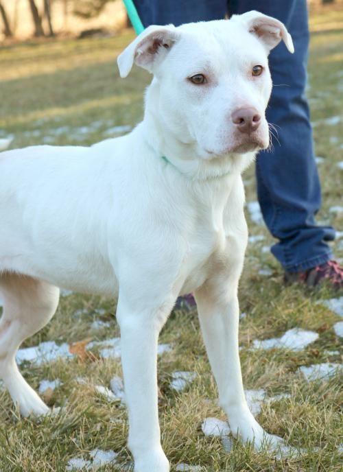 American Terrier Spayed Female White Young Snow Bull Pit Mix Hi Im Ahi I M Snow White I M A Yo Pitbull Terrier American Pitbull Terrier Pitbulls