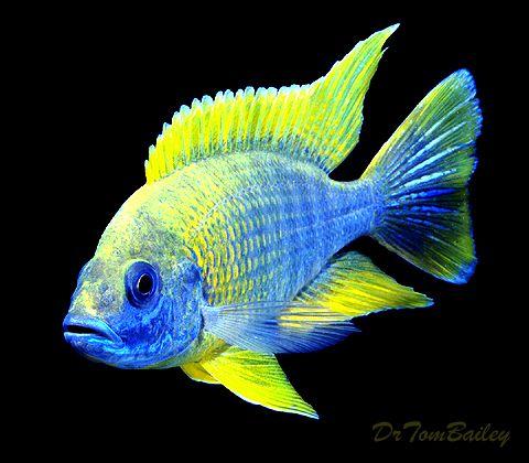 lemon jake peacock cichlid - photo #40