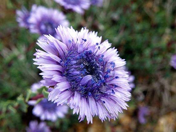 Globularia alypum L. - Arbusto de terrenos secos do Mediterrâneo