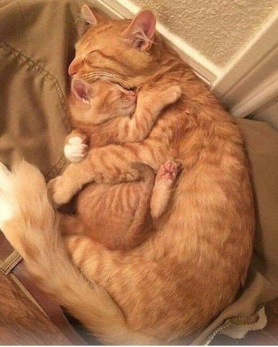 Super Adorable Ginger Cat Mom Cuddling Her Kitten Cute Cats