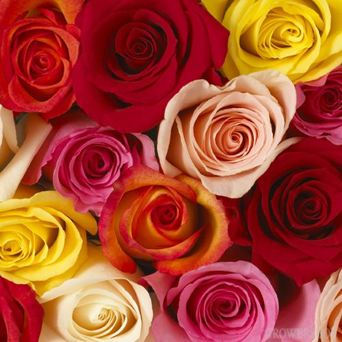 Roses are available year-round in a wide variety of different colors. These charming flowers are used for everything from casual backyard parties to formal galas and wedding ceremonies. The Grower's Box offers bulk packages of wholesale roses at discount prices for use as decorations for weddings and events, parties, fundraisers and giveaways. Visit www.GrowersBox.com for more information.