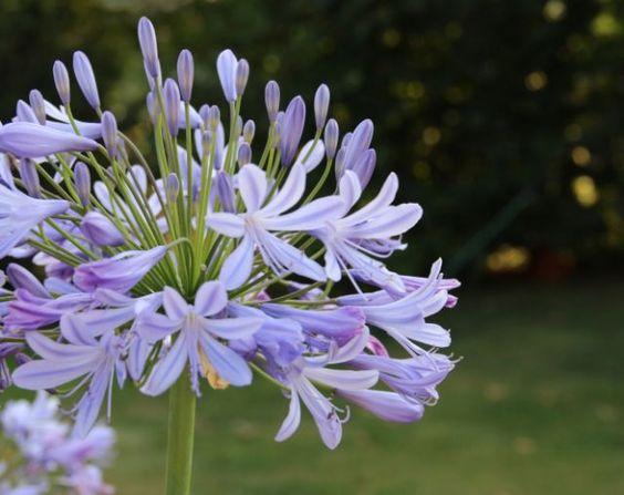 Agapanto lila