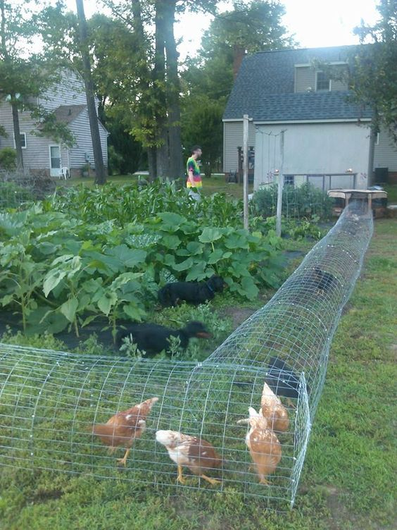 Our chickens in their DIY chicken tunnel. We live in a residential area, so to keep the chickens protected from hawks, dogs and other predators (and to keep them out of our neighbor's yard) we hook up their portable play-pen to the run and let them range.: