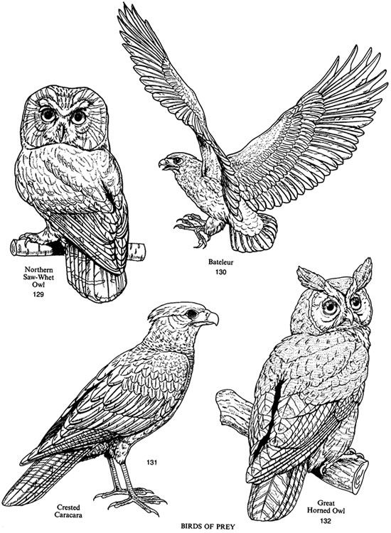 Beautiful coloring and birds on pinterest for Birds of prey coloring pages