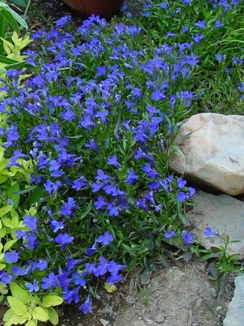 Trailing Lobelia.  Always so pretty in the garden, and in pots too!  Good for shade/part shade.:
