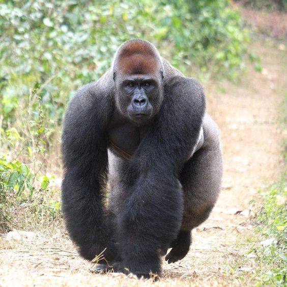 PURE MUSCLE.  Gorilla male, by Jacques Gillon.   Africa