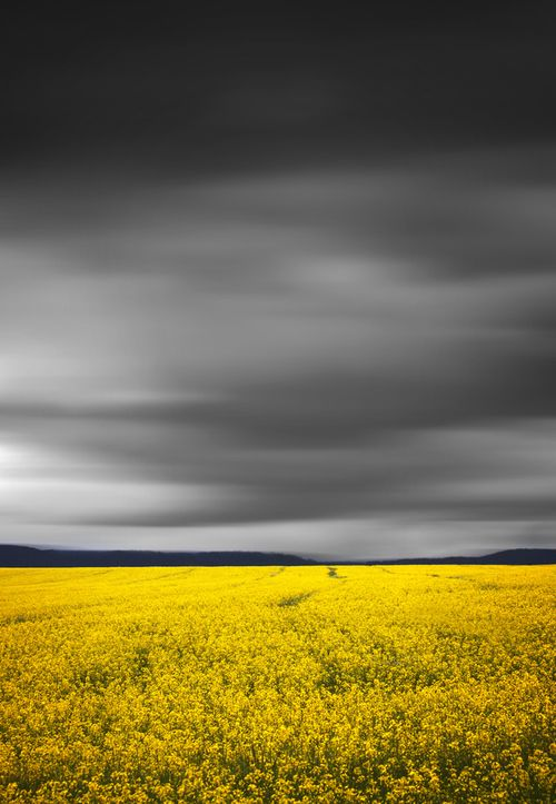 Fields Of Yellow || BATHURST CANOLA CROPS by Rhys Pope