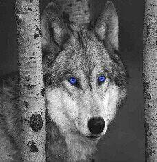 blue eyed wolf
